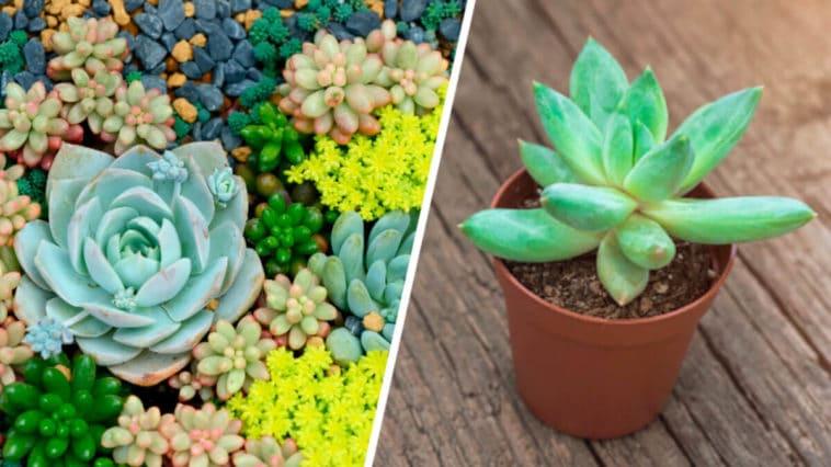 Todo sobre las Plantas Suculentas y sus Cuidados - Flores