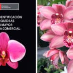 Guía para Identificar Orquídeas con Mayor Demanda PDF - Cultivando Flores