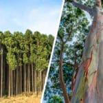 Todo sobre las Plantas Eucalipto y sus Cuidados - Cultivando Flores