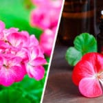 Todo sobre las Plantas Geranio y sus Cuidados - Cultivando Flores