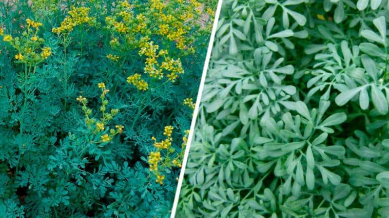 Todo sobre las Plantas Ruda y sus Cuidados - Cultivando Flores