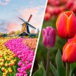 Todo sobre las Plantas Tulipanes y sus Cuidados - Cultivando Flores