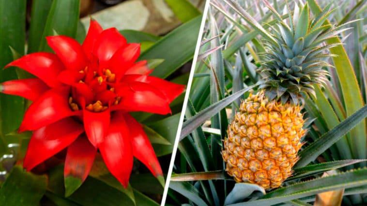 Todos sobre las Plantas Bromelia y sus Cuidados - Cultivando Flores