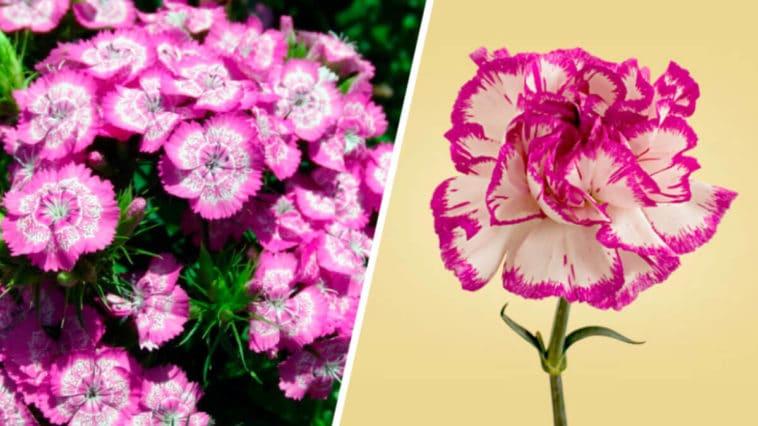 Todos sobre las Plantas Clavel y sus Cuidados - Cultivando Flores