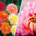 Todos sobre las Plantas Crisantemo y sus Cuidados - Cultivando Flores