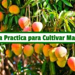 Guía Practica para Cultivar Mango PDF - Cultivando Flores