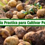 Guía Practica para Cultivar Papa PDF - Cultivando Flores