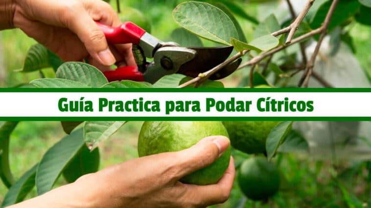 Guía Practica para Podar Cítricos PDF - Cultivando Flores