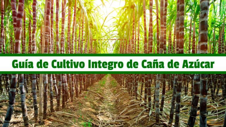 Guía de Cultivo Integro de Caña de Azúcar PDF - Cultivando Flores