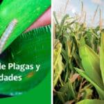 Guía de Plagas y Enfermedades en Maíz PDF - Cultivando Flores