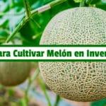Libro para Cultivar Melón en Invernadero PDF - Cultivando Flores