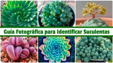 Guía Fotográfica para Identificar Suculentas PDF - Cultivando Flores