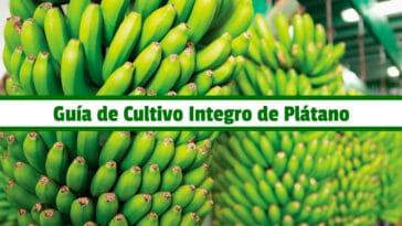 Guía de Cultivo Integro de Plátano PDF - Cultivando Flores