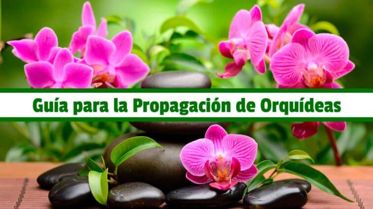 Guía para la Propagación de Orquídeas PDF - Cultivando Flores